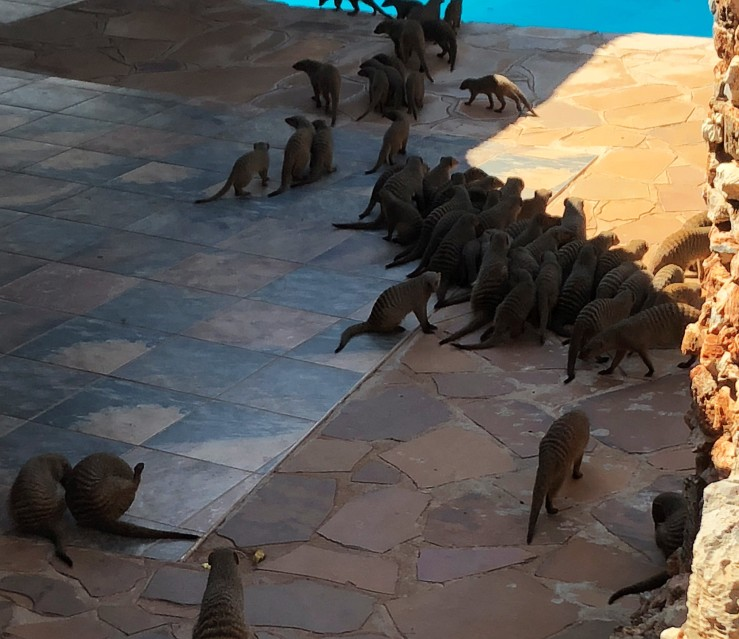 Okutala Mongooses