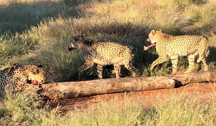 Okutala Cheetahs